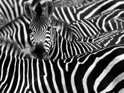 https://imgc.artprintimages.com/img/print/close-up-from-a-zebra-surrounded-with-black-and-white-stripes-in-his-herd_u-l-q1a40gv0.jpg?p=0