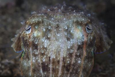 Close-Up Front View of a Broadclub Cuttlefish-Stocktrek Images-Photographic Print