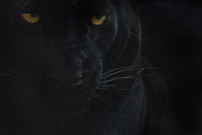 https://imgc.artprintimages.com/img/print/close-up-head-portrait-of-melanistic-black-leopard-panthera-pardus-captive_u-l-q13aagl0.jpg?p=0