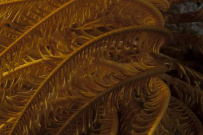 Close-Up Image of a Yellow Crinoid on a Fijian Reef-Stocktrek Images-Photographic Print