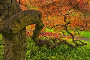 Close-Up Japanese Maple Tree, Winterthur Gardens, Delaware, USA