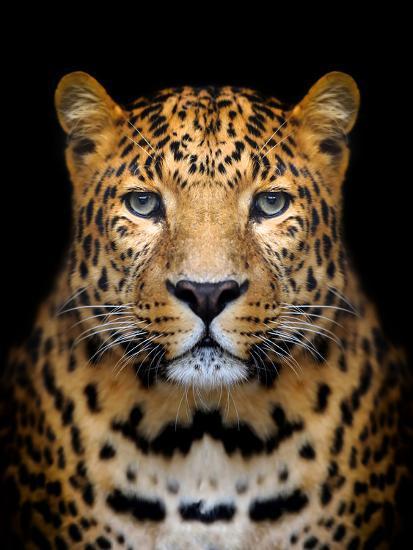 Close-Up Leopard Portrait on Dark Background-Volodymyr Burdiak-Photographic Print