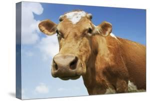 Close-Up Low Angle View of Brown Cow Against Blue Sky