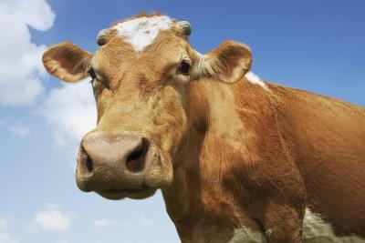 Close-Up Low Angle View of Brown Cow Against Blue Sky--Photo