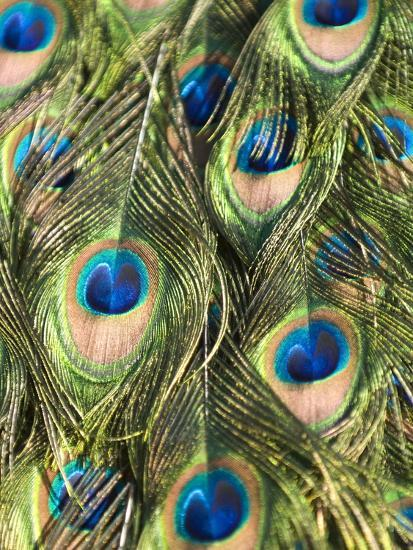 Close Up Male Indian Peacock Feathers, Pavo Cristatus-Paul Sutherland-Photographic Print
