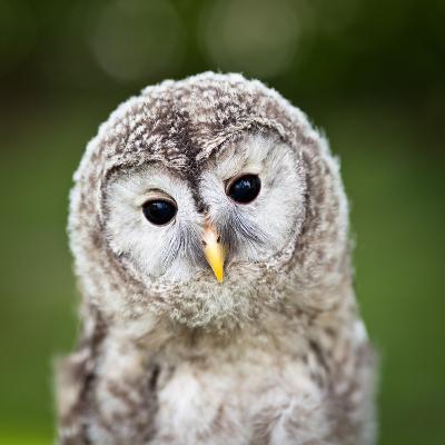 Close Up Of A Baby Tawny Owl (Strix Aluco)-l i g h t p o e t-Photographic Print