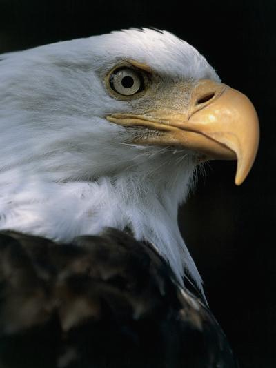 Close-Up of a Bald Eagle, Alaska, Usa (Haliaeetus Leucocephalus)-M^ Santini-Photographic Print