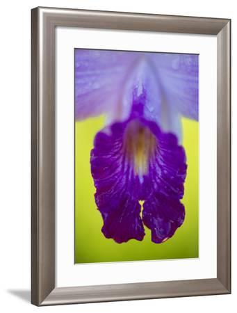 Close Up of a Bamboo Orchid, Arundina Graminifolia-Michael Melford-Framed Photographic Print