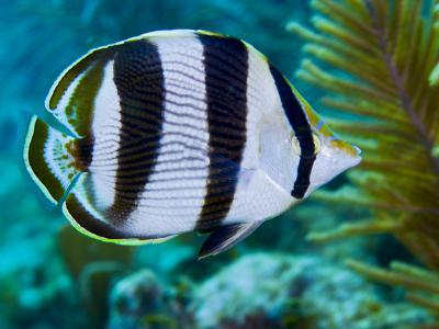 Close-up of a Banded Butterflyfish-Stocktrek Images-Photographic Print