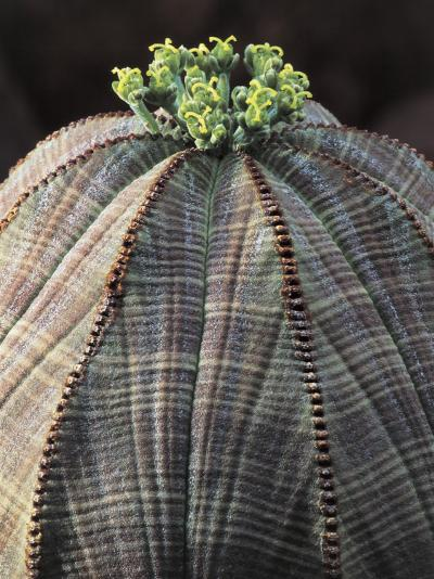 Close-Up of a Baseball Plant (Euphorbia Obesa)-C^ Dani-Photographic Print