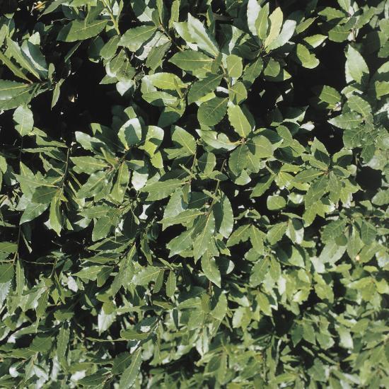 Close-Up of a Bay Laurel Tree (Laurus Nobilis)--Photographic Print