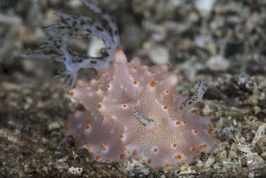 Close-Up of a Beautiful Halgerda Batangas Nudibranch-Stocktrek Images-Photographic Print