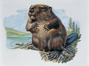 Close-Up of a Beaver Sitting