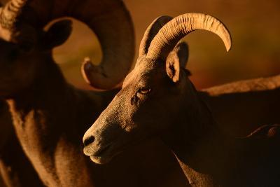 Close Up of a Bighorn Sheep, Ovis Canadensis, in Valley of Fire State Park-Raul Touzon-Photographic Print