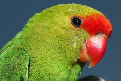 Close Up of a Black-Winged Lovebird, Agapornis Taranta-Cagan Sekercioglu-Photographic Print
