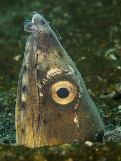 Close-Up of a Blacksaddle Snake Eel Head, Lembeh Strait, Indonesia-Stocktrek Images-Photographic Print