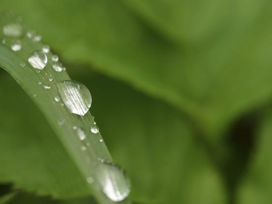 Close-up of a Blade of Grass with Fresh Clear Water Droplets--Photographic Print