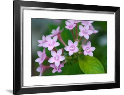 Close Up of a Blooming Egyptian Star Flower, Pentas Lanceolata-Darlyne A. Murawski-Framed Photographic Print