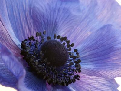 Close Up of a Blue Anemone Flower-Darlyne A^ Murawski-Photographic Print