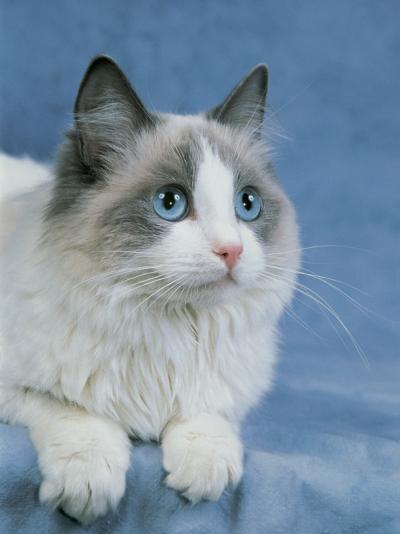 Close-Up of a Blue Bicolor Ragdoll Cat-D^ Robotti-Photographic Print
