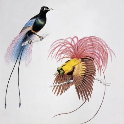 Close-Up of a Blue Bird of Paradise (Paradisea Rudolphi) with a Red Bird of Paradise (Paradisea Rub--Giclee Print