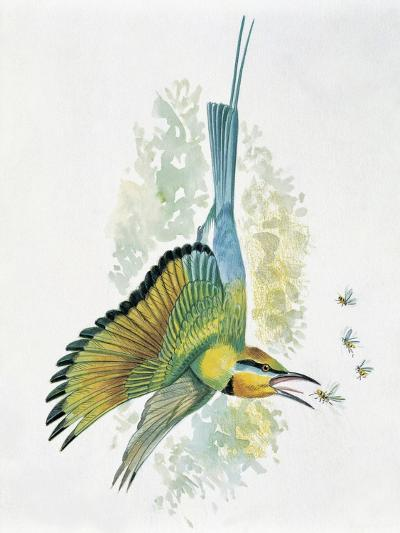 Close-Up of a Blue-Tailed Bee-Eater (Merops Philippinus) Flying and Eating Insects--Giclee Print