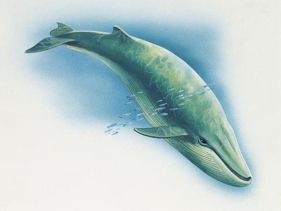 Close-Up of a Blue Whale Swimming Underwater (Balaenoptera Musculus)--Giclee Print