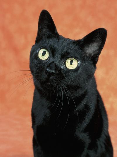 Close-Up of a Bombay Cat-D^ Robotti-Photographic Print