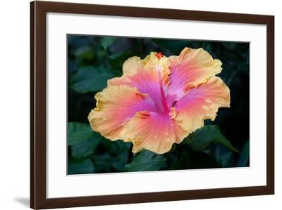 Close Up of a Bon Temps Hibiscus Flower-Darlyne A. Murawski-Framed Photographic Print