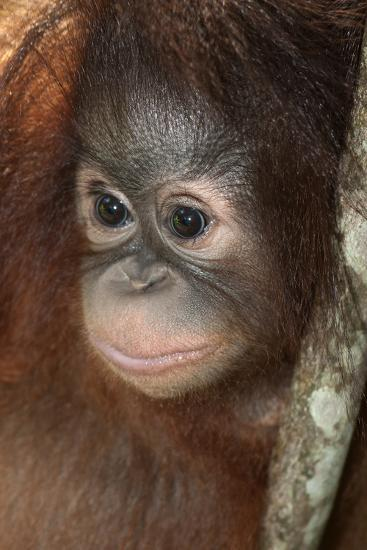Close Up of a Bornean Orangutan, Pongo Pygmaeus-Nicole Duplaix-Photographic Print
