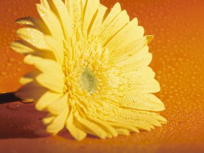 Close-Up of a Bright Yellow Zinnia Flowerhead from the Asteraceae Flower Family--Photographic Print