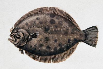 Close-Up of a Brill (Scophthalmus Rhombus)--Giclee Print
