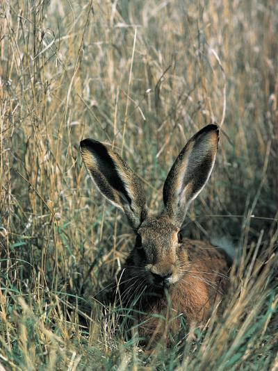 Close-Up of a Brown Hare in Tall Grass (Lepus Europaeus)--Photographic Print