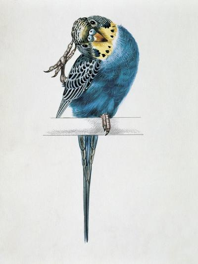 Close-Up of a Budgerigar Perching on a Branch and Scratching its Head (Melopsittacus Undulatus)--Giclee Print