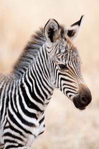 Close-Up of a Burchell's Zebra (Equus Burchelli), Ngorongoro Crater, Ngorongoro, Tanzania