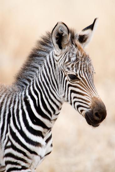 Close-Up of a Burchell's Zebra (Equus Burchelli), Ngorongoro Crater, Ngorongoro, Tanzania--Photographic Print