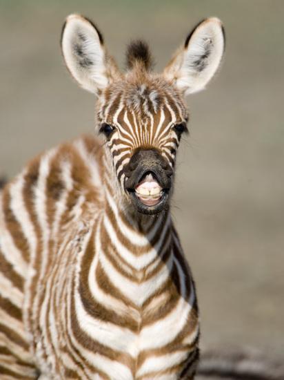 Close-Up of a Burchell's Zebra Foal, Ngorongoro Crater, Ngorongoro, Tanzania--Photographic Print
