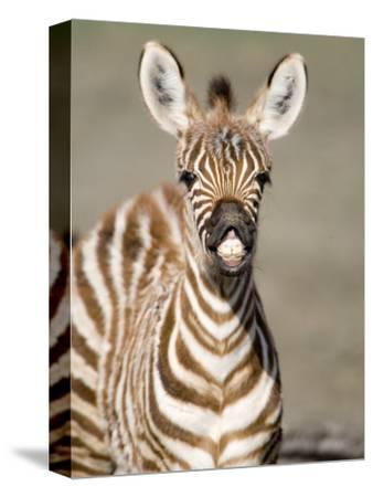 Close-Up of a Burchell's Zebra Foal, Ngorongoro Crater, Ngorongoro, Tanzania