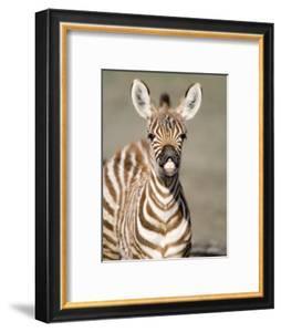 Close-Up of a Burchell's Zebra Foal, Ngorongoro Crater, Ngorongoro, Tanzania