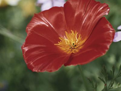 Close-Up of a California Poppy Flower (Eschscholzia Californica)-A^ Moreschi-Photographic Print