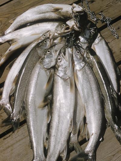 Close-Up of a Catch of Trout-Eliot Elisofon-Photographic Print