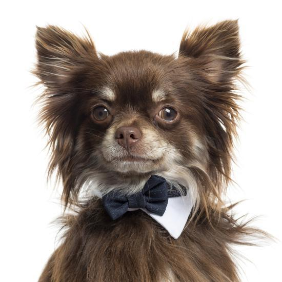 Close Up Of A Chihuahua Wearing A Bow Tie, Isolated On White-Life on White-Photographic Print