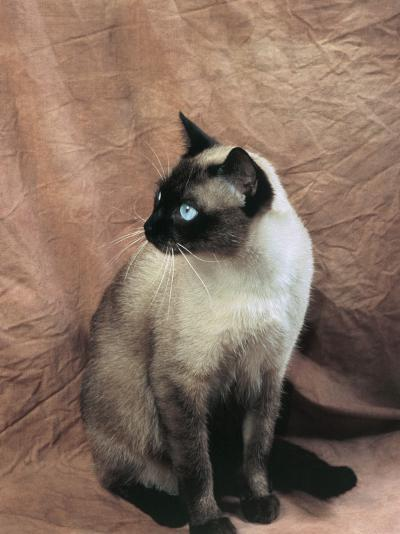 Close-Up of a Chocolate Point Siamese Cat-D^ Robotti-Photographic Print