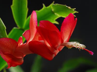 Close Up of a Christmas Cactus, Schlumbergera Truncatus, in Bloom-Darlyne A^ Murawski-Photographic Print
