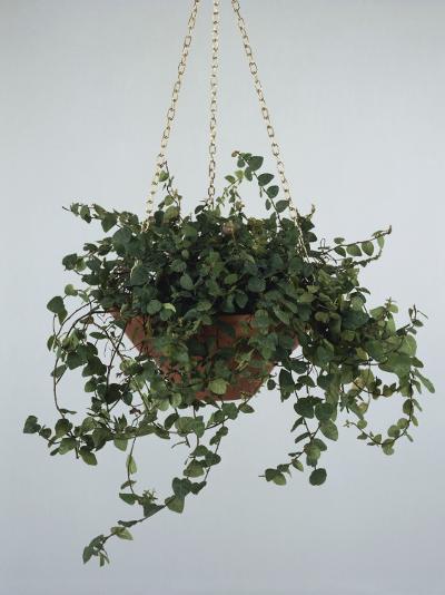 Close-Up of a Climbing Fig Plant Hanging (Ficus Pumila)-C^ Dani-Photographic Print