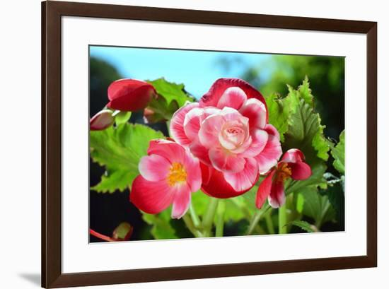 Close up of a cluster of Picotee begonia flowers.-Darlyne A. Murawski-Framed Photographic Print