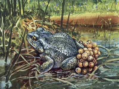 Close-Up of a Colorado River Toad Producing Eggs (Bufo Alvarius)--Giclee Print