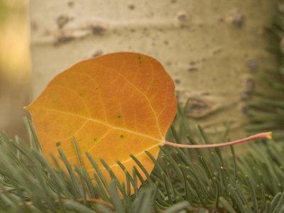 https://imgc.artprintimages.com/img/print/close-up-of-a-colorful-quaking-aspen-leaf-lying-on-a-conifer-branch_u-l-p8g2v90.jpg?p=0
