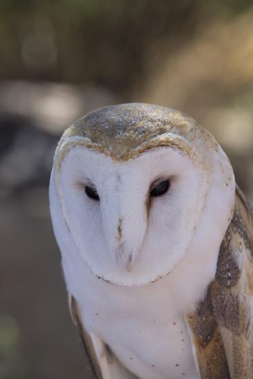 Close Up of a Common Barn Owl (Tyto Alba)-Richard Maschmeyer-Photographic Print