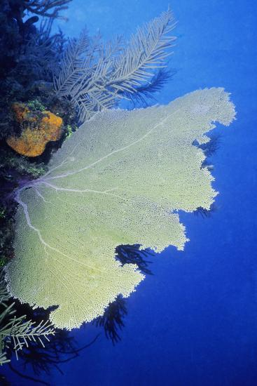 Close-Up of a Common Sea Fan (Gorgonia Ventalina), Cayman Islands, West Indies-Glowimages-Photographic Print